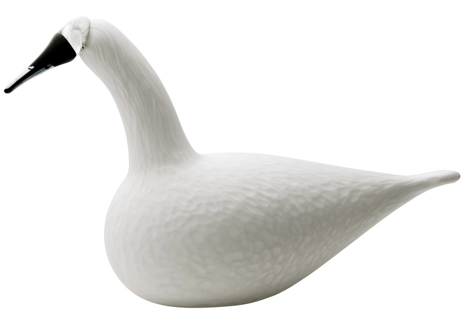 Whooper Swan weiss